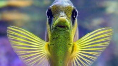 Bauchwassersucht Bei Fischen Eine Infektiöse Krankheit Petpharmde