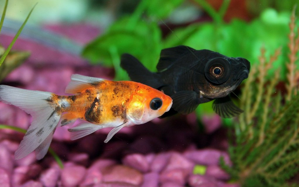 Fischtuberkulose ist sehr ansteckend.