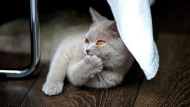 Britisch Kurzhaar Katzen sind nicht anfällig für Erkrankungen.