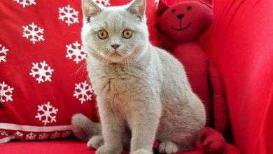 Britisch Kurzhaar Kätzchen brauchen eine gute, altersgerechte Ernährung.