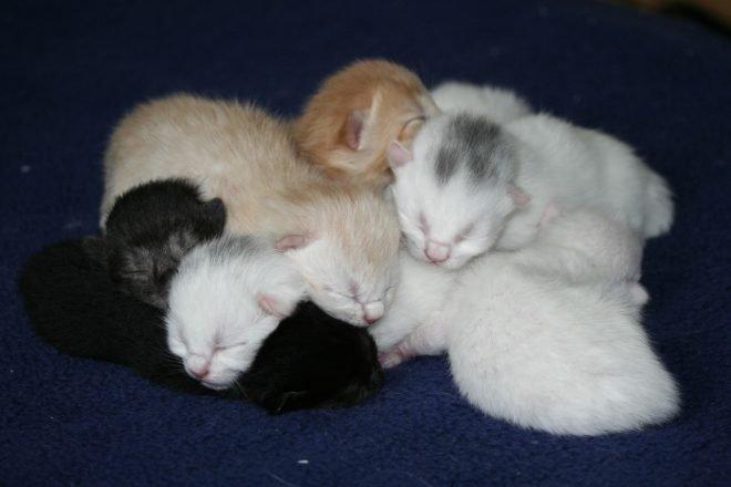 Britisch Kurzhaar Kitten brauchen viel Zuwendung und eine gute Ernährung.