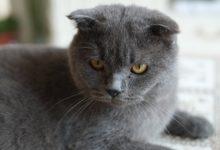 Wenn man eine Britisch Kurzhaar Katze kaufen möchte, bedeutet dies Verantwortung und Pflege des Tieres.